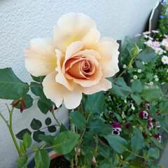 咲いてくれてありがとう/ジュリアン/薔薇/暮らし バラが咲きました。 ジュリアンと言う茶系…