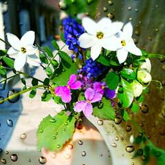 ムスカリ/野草/生花/花束 春の花