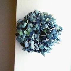 リース/アジサイ/ドライフラワー/ハンドメイド 綺麗なブルーのアジサイドライができました…