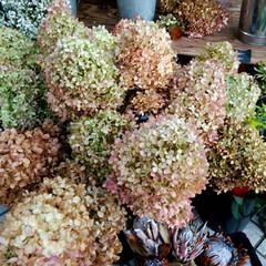 秋/おでかけ/クラフトマーケット 最後の写真は、大きな生姜です❗(2枚目)