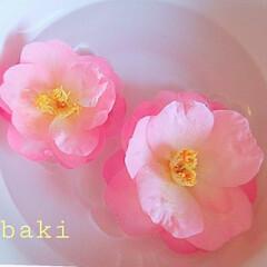 花/椿 花が落ちても尚愛らしく。 水に浮かべて最…