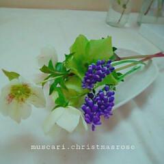 切り花/花 ムスカリとクリスマスローズ