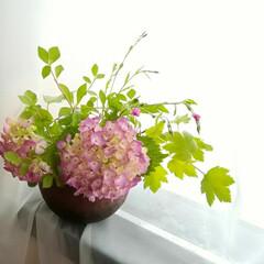 木イチゴの葉/ドウダンツツジ/紫陽花/令和元年フォト投稿キャンペーン/令和の一枚/風景/... サクラマカロンさん、ピンクの紫陽花生けて…