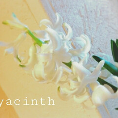 ヒヤシンス 2番目の花も咲いてくれました😊少し小ぶり…