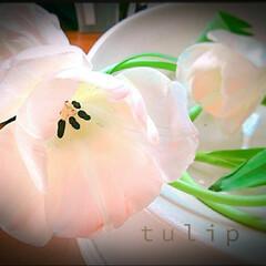 切り花 チューリップ🌷咲いた