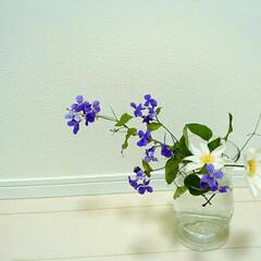 クレマチス/生花 クレマチスと紫ハナナ