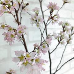 啓翁桜/サクラ満開/おひなさま/ひな祭り/ピンク/LIMIAな暮らし 桜満開になりました🌸 ひなまつりに満開に…