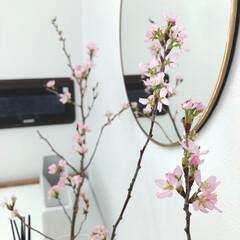 玄関インテリア/花のある暮らし/桜/ひな祭り/ピンク/暮らし 玄関に飾った桜。 一晩で満開になっちゃい…