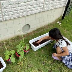 朝顔/グリーンカーテン/お庭/季節インテリア/暮らし 絶対遅いとはわかっているのですが 見様見…(1枚目)