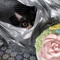 保護猫/LIMIAペット同好会/にゃんこ同好会/うちの子ベストショット 袋の中から覗き込むヤン子です(ФωФ)(1枚目)