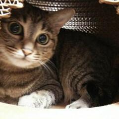 猫ハウス 猫ちぐらに憧れ…… 爪研ぎしても紙屑が出…