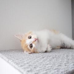 子猫/保護猫/キャットウォーク/キャットステップ/令和の一枚/LIMIAペット同好会/... はじめまして。 レグルスといいます。 獅…