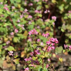 花/赤そばの花/新そば/秋 新そばの季節がやってきました。 これは、…