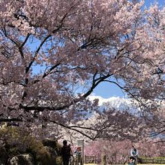 素敵/綺麗/山/アルプス/満開/桜/... 満開の桜からアルプスが見える景色は、とっ…