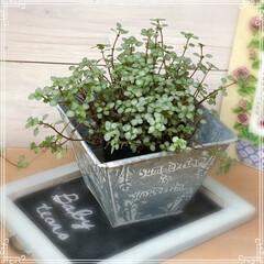 わたしのお気に入り/グリーンのある生活/観葉植物/雑貨/暮らし ちっちゃな葉っぱ🍀が集まって 小花のよう…