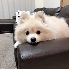 ほたて/ポメラニアン/見つめすぎ/ペット/犬