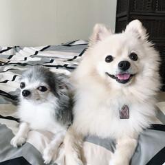 チワワ/ポメラニアン/わさび/ほたて/ペット/犬
