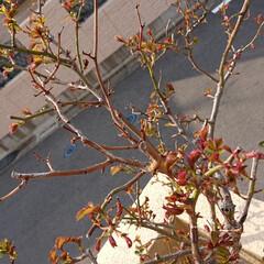小さい春 芽がこんなに❗ 今年は綺麗に咲いてほしい…