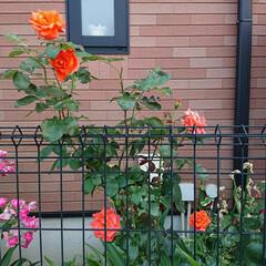 住まい/我が家のバラコレクション 暑さに負けず綺麗に咲きました🌹