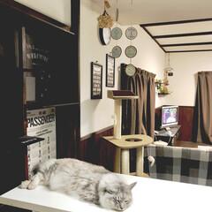 カフェ風インテリア/雑種猫/保護猫/キャットタワー/キャットウォーク/DIY/... カウンターテーブルの上に平べったくなって…