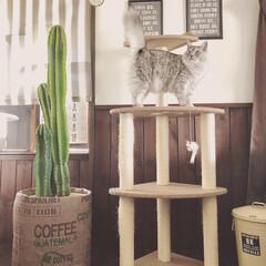 鉢カバーDIY/鉢カバー/サボテン/ペット/猫/インテリア/... プラスチックの鉢に植えているサボテンの鉢…(2枚目)