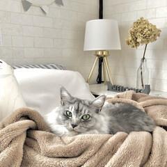 猫のいる暮らし/猫のいる生活/紫陽花ドライ/スタンドライト/元和室/子ども部屋/... ベッドを占領している愛猫です(笑) 猫っ…