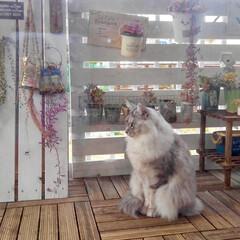 多肉植物/ベランダガーデン/田舎暮らし/春のフォト投稿キャンペーン/LIMIAペット同好会/にゃんこ同好会/... ベランダガーデンと猫🐾 家の外に出さない…(2枚目)