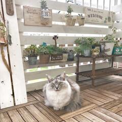 ベランダガーデニング/ベランダガーデン/ベランダ/多肉植物/保護猫/ペット/... おはようございます😊 今朝のはぎ🐱💕 ベ…