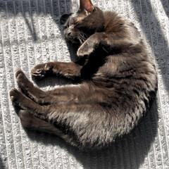 黒猫/保護猫/ペット/にゃんこ同好会 陽の当たるリビングの窓際で、気持ちよさそ…