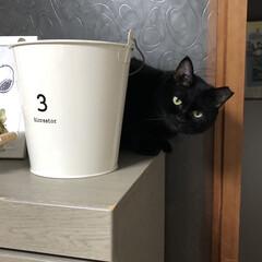 保護猫/黒猫/LIMIAペット同好会/にゃんこ同好会/うちの子ベストショット ひょっこりと可愛い顔をしてのぞいている我…