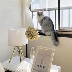 ホワイトインテリア/LIMIAぺット同好会/猫のいる暮らし/猫と暮らす/スタンドライト/ベッドサイド/... 今日はポカポカ陽気だったので、とても気持…