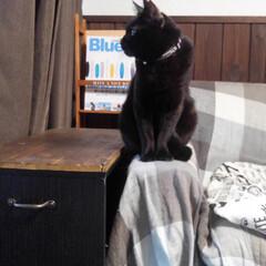 マガジンラックDIY/サイドテーブル/カラーボックスdiy/猫のいる暮らし/フォロー大歓迎/LIMIAペット同好会/... 愛猫くろまめの横顔🐱💕 どうやら外の鳥を…