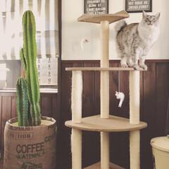 鉢カバーDIY/鉢カバー/サボテン/ペット/猫/インテリア/... プラスチックの鉢に植えているサボテンの鉢…(1枚目)
