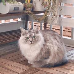 ベランダ/LIMIAペット同好会/ペット/猫/にゃんこ同好会/うちの子ベストショット おはようございます♪ いつもベランダでた…