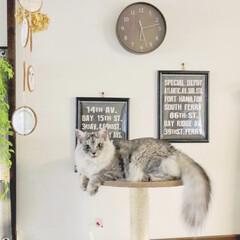 フェイクグリーン/コースターリメイク/保護猫/キャットタワー/100均/ペット おはようございます♩♪ 今朝の愛猫(はぎ…(1枚目)