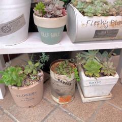 エクステリアカラー ホワイト  水性着色剤 ウッドアトリエ | 和信ペイント(Washi Paint)(ニス、ステイン)を使ったクチコミ「端材を使って、多肉植物を置く棚を作りまし…」(4枚目)