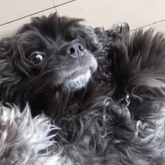 犬のいる生活/いいねありがとうございます/フォロー大歓迎/ペット/犬 目が合うと、いつもお腹を出して、なでなで…