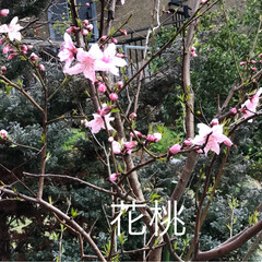 風景/小さい春 我が家の花桃が咲きはじめました。 ピンク…