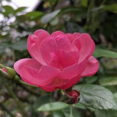 マユハケオモト(眉刷毛万年青)/四季咲き薔薇/多肉植物寄せ植え/お家園芸 四季咲き薔薇アンジェラが またまた咲き始…