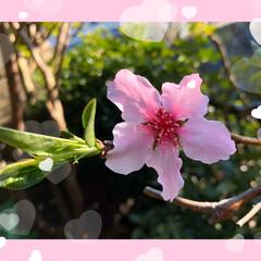 チューリップ🌷/桃の花/かりん/花桃 お隣の花桃の花は素晴らしい💕 我が家の花…(3枚目)
