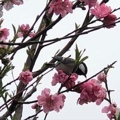 小鳥/花/ペット/ペット仲間募集/犬/わんこ同好会/... 花桃の木にシジュウカラ?が遊びにきてまし…(2枚目)