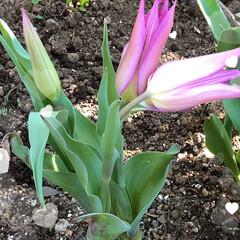 チューリップ🌷/桃の花/かりん/花桃 お隣の花桃の花は素晴らしい💕 我が家の花…(5枚目)
