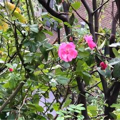 大雨警報/雨☔️/四季咲きバラ/フォロー大歓迎/次のコンテストはコレだ! 今日も雨☔️ですね😱 四季咲きのバラ🥀が…