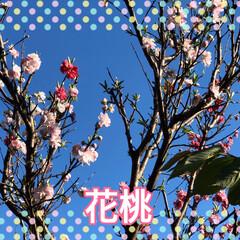 チューリップ🌷/桃の花/かりん/花桃 お隣の花桃の花は素晴らしい💕 我が家の花…(2枚目)