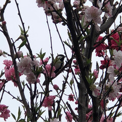 小鳥/花/ペット/ペット仲間募集/犬/わんこ同好会/... 花桃の木にシジュウカラ?が遊びにきてまし…