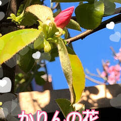 チューリップ🌷/桃の花/かりん/花桃 お隣の花桃の花は素晴らしい💕 我が家の花…(4枚目)