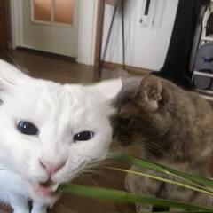 猫/ねこ/ねこと暮らす/白ねこ部/しろねこマロたん チラリと見える、ニャンコの白目が好き❤️(3枚目)