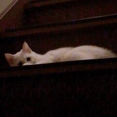 ねことの暮らし/ねこと暮らす/階段 マロたん仔猫の頃。先輩ニャンを待ち伏せ🎵…(3枚目)