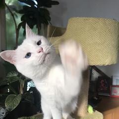 しろねこ/ねこと暮らす/ねことの暮らし/猫 おりゃあぁぁぁーー!(2枚目)