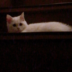 ねことの暮らし/ねこと暮らす/階段 マロたん仔猫の頃。先輩ニャンを待ち伏せ🎵…(5枚目)